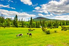 reindeers (ikkasj) Tags: lapland finland sky clouds green reindeer natutre summer lightful landscape felllapland fell pallasyllästunturinationalpark