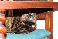 IMG_0053 Lola, Mallorca (Fernando Sa Rapita) Tags: mallorca sarapita lola cat gata gatita mascota pet canon canonpowershot powershotsx70hs