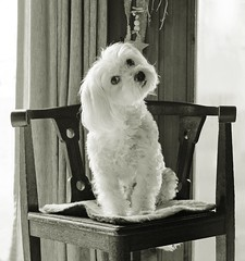 ... yes, that's MY seat! .. (Fay2603) Tags: dogs maltese bandicot monochrome quinto eyes seat light shadow fujixt1