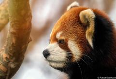 In Lighten One (Robert Streithorst) Tags: cincinnatizoo cute face fur head panda redpanda robertstreithorst whiskers zoosofnorthamerica