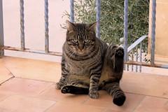 IMG_0297 Chico, Mallorca (Fernando Sa Rapita) Tags: mallorca sarapita chico cat gato mascota pet canon canonpowershot powershotsx70hs