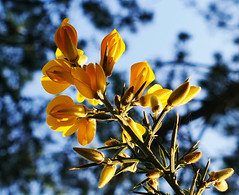 The sweet flowers hide traitors thorns (Le.Patou) Tags: challengesurflickr flora closeup fz1000 fleur flower yellow blue thorns undergrowth wood pine bush cof090patr cof090hole cof090mari cof090dmnq cof090anne cof090red cof090uki