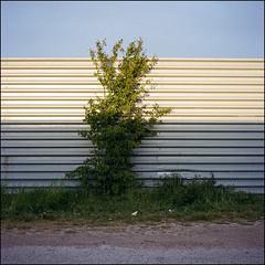 Local Nature - Kodak Porta 400 (magnus.joensson) Tags: sweden swedish skåne trelleborg tree industry rolleiflex carl zeiss tessar 75mm kodak porta 400 c41 6x6 may spring
