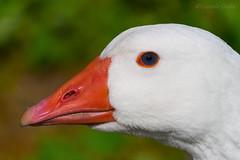 MacrOca 3 (Eugenio GV Costa) Tags: approvato animal animali animals goose oca outside macro
