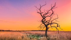 Snape Lone Tree (Aron Radford Photography) Tags: snape maltings suffolk east anglia uk landscape sunrise dawn golden hour tree twisted dead wetland marsh