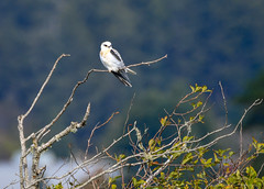 White Tail Kite (CindyFullwiler Nature Photography) Tags: white tail kite whitetailedkite raptor bird audubon ptreyesnationalseashore californiabirds cindyfullwilernaturephotography nikond500