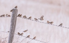 Finch forecast - poor to variable (Tracey Rennie) Tags: redpolls bird winter fence snow barbedwire