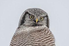 Northern Hawk Owl (Joe Branco) Tags: green ontario canada beautiful branco photoshop joe owl lightroom wildlifephotography northernhawkowl joebrancophotography