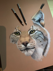 Work in progress 2 (Ben Locke.) Tags: art drawing draw pencil pastel wildlife wild nature wildlifeart lynx europeanlynx sketch