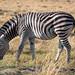 Steppenzebra / Plains Zebra