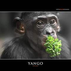 YANGO (Matthias Besant) Tags: affe affen affenfell animal animals ape apes pygmychimpanzee fell zwergschimpanse hominidae hominoidea mammal mammals menschenaffen menschenartig menschenartige monkey monkeys primat primaten saeugetier saeugetiere tier tiere trockennasenaffe bonobo schauen blick blicken augen eyes look looking jungtier yango child kind zoo zoofrankfurt matthiasbesant matthiasbesantphotography petersilie hessen deutschland