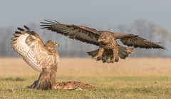 Battle of birds   (Buteo buteo) (Torok_Bea) Tags: buteobuteo egerészölyv ölyv beautiful bird wonderful wildanimal nikon natur fantastic awesome amazing animals buzzard commonbuzzard wildlife wildbird tamron tamron150600 nature birds animal nikond500 lesfotózás wildbirds birdwatching battle battleofbirds