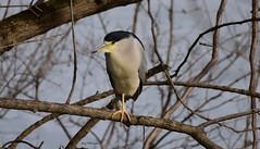 Black Crowned Night Heron_3406ee (Porch Dog) Tags: 2019 garywhittington nikond750 nikkor200500mm bird blackcrownednightheron heron avian wildlife nature outdoors kentucky feathers