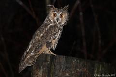 Briller de mille feux! (DorianHunt) Tags: birds bokeh birdsofprey switzerland december 2019 longearedowl nikond500 sigma 150600mm