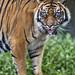 Sumatran tigress with open mouth