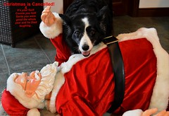 Santa died laughing when you told him you were good all year (ashaconnie) Tags: christmas picture funny border collie dog santa caption ashathestarofcountydown connie kells county down photography