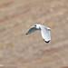 Pallas's Gull (Larus ichthyaetus)