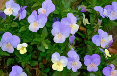 Viola! (Pejasar) Tags: paintcreations painterly garden artistic art flowers blossoms blooms purple violet pansy violas
