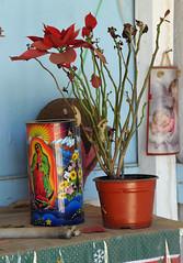 Oaxaca Mexico Poinsettia Guadalupe (Ilhuicamina) Tags: shrines mexican oaxacan flowers poinsettia guadalupe faith