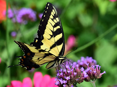 811_5015. Tiger Swallowtail (laurie.mccarty) Tags: butterfly macro tigerswallowtail swallowtail tamron90mmf28 nature naturephotography