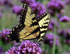 811_4995.jpg=080519T2 (laurie.mccarty) Tags: tigerswallowtail swallowtail butterfly nature macro tamron90mmf28