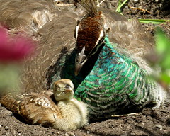A tender moment - Baby peacock with mom (Afropavo, Pavo), Beacon Hill Park, British Columbia, Canada, June 2018 (Judith B. Gandy (on and off, off and on)) Tags: britishcolumbia afropavo aves birds canada chicks pavo peacocks peafowl peahens