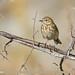 Tree Pipit (Anthus trivialis)