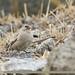 Black-winged Snowfinch (Montifringilla adamsi)