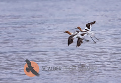 Pair of American Avocets in breeding colors, in flight (scalderphotography) Tags: sandracalderbank scalderphotography bird americanavocet avocet recurvirostraamericana recurvirostridae birdinflight birdphotography brilllantplumage feathers flying outdoors water wildlife adultbreedingcolors