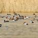 Common Pochard (Aythya ferina), Red-crested Pochard (Netta rufina), Gadwall (Anas strepera), Eurasian Coot (Fulica atra) & Tufted Duck (Aythya fuligula)