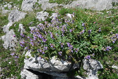 Salvia officinalalis