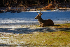 Finding His Patch of Sun (San Francisco Gal) Tags: deer whitetaildeer ahwahneehotel yosemite ynp snow sun shade animal stag