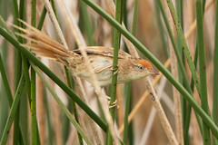 Espartillero Enano (georgina e.s) Tags: espartilleroenano spartonoicamaluroides baycappedwrenspinetail furnariidae avesargentinas avesdeargentina