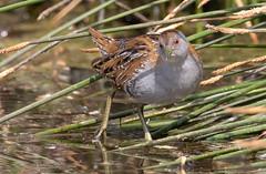 Baillon's crake (Porzana pusilla)-9062 (rawshorty) Tags: rawshorty birds canberra australia act jerrabomberrawetlands