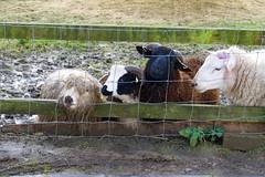 Eye on the nettle (John K Thorne) Tags: friends eye wool field animals kent sheep farm grazing kentlife museumofkent explore