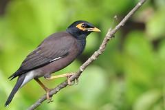 Common Myna (SivamDesign) Tags: canon eos 550d rebel t2i kiss x4 sigma 150600mm contemporary sigma150600mmf563dgoshsmcontemporary bird fauna common indian myna commonmyna acridotherestristis