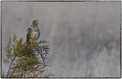 Han resting (RKop) Tags: fernaldpreserve ohio raphaelkopanphotography northernharrier nikon nature birds d500 600mmf4evr