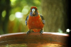 Rosella - spotted me! (nickant44) Tags: rosella bird bath canon 40d 55250mm efs australia clarendon bokeh backyard summer