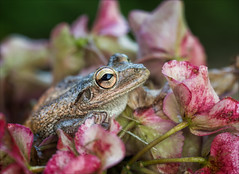 You Don't Send Me Flowers (Kathy Macpherson Baca) Tags: frog nature world amphibian earth planet preserve macro