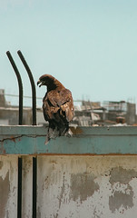 Golden Eagle (Tuba yusuf) Tags: goldeneagle eagle new outside nature photography olympus lightroom roof bird edit c color
