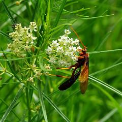 Ichneumon Wasp (Ichneumonidae) on Arizona milkweed (Asclepias angustifolia).  Portal, Cochise Co., Arizona, USA. (cbrozek21) Tags: flower insect nature arizona ichneumonwasp milkweed arizonamilkweed asclepiasangustifolia
