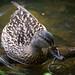 Watchful Duck