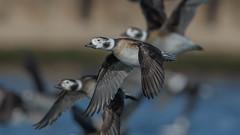 Long-tailed Duck (F)   3851 (Paul McGoveran) Tags: bif bird birdinflight burlington burlingtonliftbridge duck lakeontario longtailedduck nature nikon500mmf4 nikond850 ontario wings coth5 sunrays5