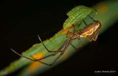 Beautiful Spider (strjustin) Tags: explored inexplore arachnid spider focusstacking insect beautiful bug macro mpe