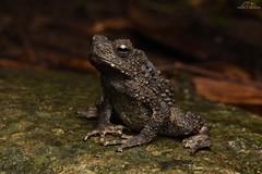 Phrynoidis juxtasper (Giant river toad) (Emily Mendel) Tags: borneo malaysia herp herping wildlife nature beautiful asia phrynoidis juxtasper giant river toad amphibian