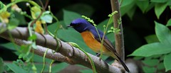 Fujian niltava (khoitran1957) Tags: bird nature vietnam wildlife wallpaper wide widescreen 219 ultrawide beautiful