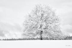 Last Winter's Snow... (Ody on the mount) Tags: anlässe blackwhite bäume em5ii fototour himmel mzuiko1250 omd olympus pflanzen rahmen schnee schneeschuhtour schwäbischealb solitär wald winter wolken bw blackandwhite clouds monochrome sw schwarzweis sky trees woods metzingen badenwürttemberg deutschland