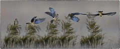 Harrier Han Takeoff (RKop) Tags: fernaldpreserve ohio raphaelkopanphotography northernharrier nikon nature birds d500 600mmf4evr