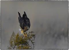 Harrier Han landing (RKop) Tags: fernaldpreserve ohio raphaelkopanphotography northernharrier nikon nature birds d500 600mmf4evr
