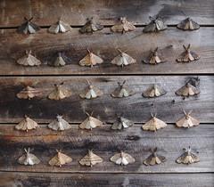 """Moths"" by Jenny Wilson (Mollivan Jon) Tags: art bankspeninsula canterbury event loudonfarm lytteltonharbour newzealand places sculptureonthepeninsula southisland species teddington insectadult mollivan sculpture taxonomy:class=insecta taxonomy:kingdom=animalia taxonomy:order=lepidoptera taxonomy:phylum=arthropoda"